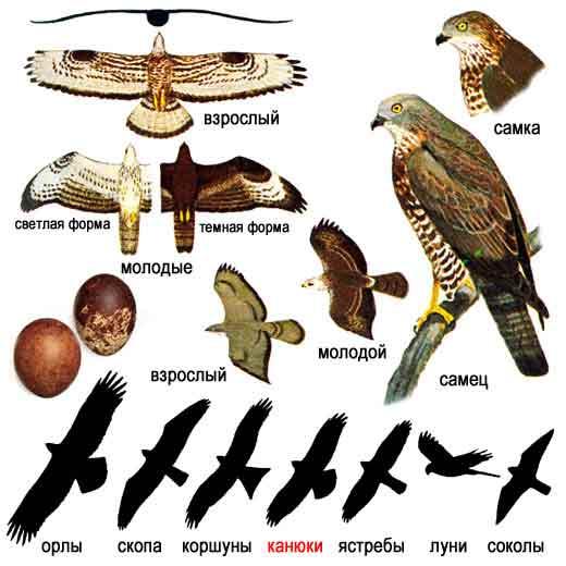 Хищные птицы подмосковья в картинках